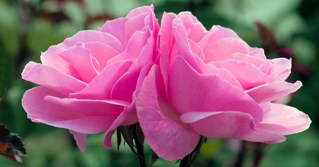rosas edit